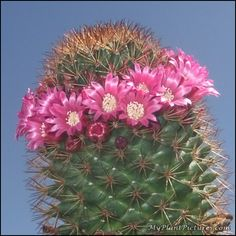 Pink Flowers make a halo on this cactus!