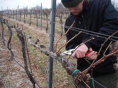Grape Trellis, Garden Pests, Aquaponics, Backyard Landscaping, Grape Vines, Vineyard, Landscape, Cuttings, Outdoors