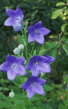 Die Ballonblume (Platycodon grandiflorus) ist eine mehrjährige Pflanze mit bis zu 7 cm großen, glockenförmigen Blüten.