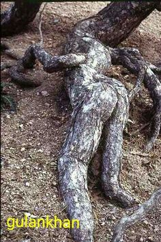 Tree roots,very strange. Weird Trees, Tree People, Tree Faces, Tree Carving, Old Trees, Unique Trees, Tree Roots, Nature Tree, In The Tree