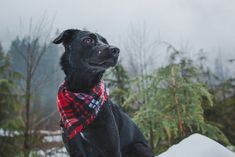 Lab-cross adventure dog living in the Pacific Northwest