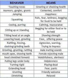 Guinea Pig Sounds and their meaning
