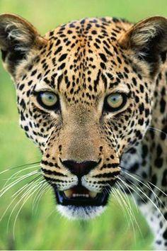 Jaguar (Panthera Onca)....