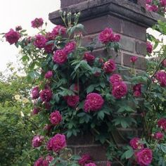 Amadis - David Austin Roses - mingle with fragrant climber