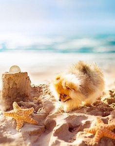 pomeranian (I choiced this picture because of how interesting it looked how this pomeranian is in the beach and how cute its playing in the sand) Cute Puppies, Cute Dogs, Dogs And Puppies, Doggies, Corgi Puppies, Teacup Pomeranian, Pomeranian Puppy, Animals And Pets, Funny Animals