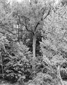 Mitch Epstein, Tulip Tree, Alley Ponds Park, Queens, 2011