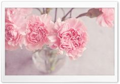 Light Pink Carnations Flowers in a Vase HD Wide Wallpaper for Widescreen