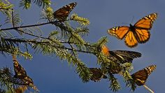 Monarch butterfly could get endangered species protection-CBS News