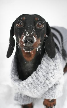 Doxie is in the snow
