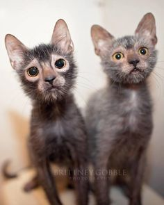 Lykoi cats are a new breed of cat designed to look just like tiny adorable werewolves! Check out these cuties. Animals And Pets, Baby Animals, Cute Animals, Beautiful Cats, Animals Beautiful, Lykoi Cat, Werewolf Cat, Kitten Breeds, Cute Cats Photos