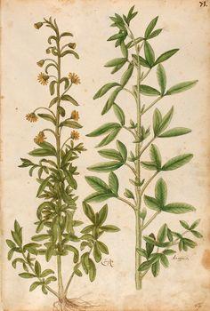 Magnarum Medicinae partium herbariae et zoographiae imagines - UER MS 2362 Author Oellinger, Georg Quichelberg, Samuel Imprint Nürnberg, 1553 urn:nbn:de:bvb:29-bv040687699-6