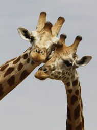 West African Giraffe - thinking of you, Mom