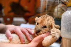 One of the three two-week old African lion cubs is caressed by its keeper in the zoo of Gyoengyoes, 80km norhteast from Budapest, Hungary, Friday, Dec., 28, 2012. AP / Peter Komka    Read more here: http://blogs.sacbee.com/photos/2013/02/life-in-the-zoo-2013.html#storylink=cpy -  The Frame: Life in the zoo, 2013