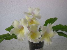 Streptocarpus Milk and Honey
