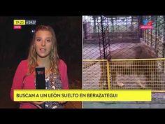 """Fragmento de """"Bella Tarde"""" emitido el Lunes 9 de Abril de 2018. Un León escapó de cautiverio y se encuentra libre por la zona de..."""
