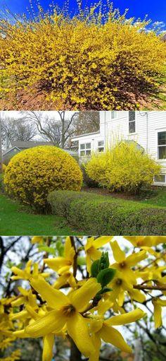 Форзиция - Садоводка | Цветы | Постила