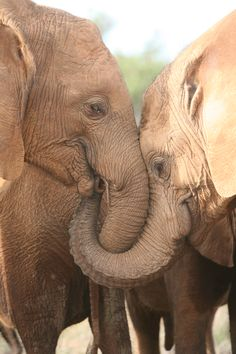 Here's Sinya and Lesanju, both orphans at the Voi reintegration centre, showing their love for one another. Read more about Sinya at http://www.sheldrickwildlifetrust.org/asp/orphan_profile.asp?N=173