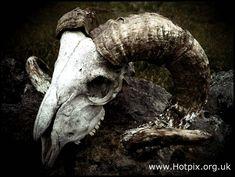 Ram's Skull with Horns.I love these, so dark and other worldly Ram Skull, Skull Mask, Skull With Horns, Skull And Bones, Animal Skeletons, Animal Skulls, Crane, Goat Mask, Skull Reference