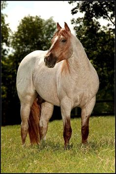 Strawberry Roan [color] Quarterhorse - looks like foundation stock (stocky, more muscular)