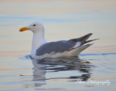 Seagull at sunset near Willows Beach in Victoria BC