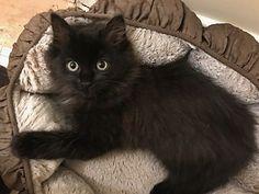Richmond, VA - Domestic Longhair. Meet Winnie a Cat for Adoption.