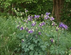 Aquilegia_vulgaris Aquilegia are clump-forming herbaceous perennials with long-stalked, ternately divided basal leaves and erect, leafy stems bearing bell-shaped flowers with spreading, coloured sepals and petals with spurs, on branched stems