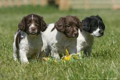English springer spaniel (Canis lupus familiaris) puppies.  COME ON GUYS, COME HOME WITH ME….HURRY BEFORE YOUR OWNER NOTICES YOU ARE GONE!