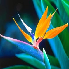 Are you having your wedding in a tropical area? You need to choose the best tropical wedding flowers for your special day. Hawaiian Flowers, Tropical Flowers, Hawaiian Art, Unusual Flowers, Pretty Flowers, Purple Flowers, Birds Of Paradise Flower, Paradise Plant, Pinterest Garden