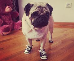 And these tiny sneakers with tiny laces!!! | 19 Tiny Dogs Wearing Even Tinier Shoes
