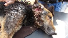 Collapsed dog rescued with life-threatening wounds makes amazing recovery