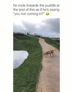 """He nods towards the puddle at the end of this as if he's saying """"you not coming in?"""" e - iFunny :) Funny Animal Memes, Dog Memes, Funny Animal Pictures, Cute Funny Animals, Cute Baby Animals, Funny Cute, Funny Dogs, Animals And Pets, Cute Pictures"""