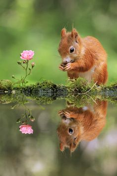 Mirror! Red Squirrel