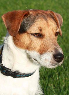 Jack Russell Terrier | por kalsrudolf