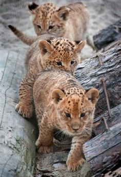 ~~Liliger Triplets ~ offspring of a male lion and female liger~~