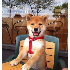 NEED a ginger colored Shiba! Cute Puppies, Cute Dogs, Dogs And Puppies, Doggies, Beautiful Dogs, Animals Beautiful, Shibu Inu, Animals And Pets, Cute Animals