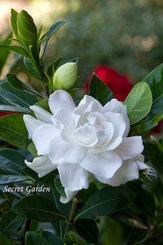 Jim's favorite, gardenia