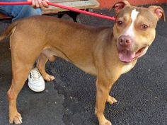 URGENT! CHOPPER IS ON THE NYCACC MONDAY, 6/10/13 EUTHANASIA LIST! At Manhattan Center. CHOPPER (ID# A0963740) IS A  MALE, TAN/WHITE, PIT MIX, 3 yrs old. CHOPPER has been in the shelter system for over a month now, he's a friendly three year old who wants nothing more than to belong to a family. He's rated Experienced - No Child; but, that shouldn't preclude him from finding the perfect place to be! Please help CHOPPER…