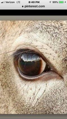 Deer Eyes, Deer Mounts, Deer Pictures, Photos Of Eyes, White Tail, Taxidermy, Furs, Paintings, Horses