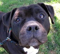 """I'm the amazingly large Wilbur Oden!  I've been hearing all the jokes about whether I'm part piggie, part pittie. I'm beyond extra-large but playful and sweet. I like attention and people, lots of walks and toy-time. The right dog friend could keep me at my best, but I can be pushy with some dogs (I literally push them). I don't like cats and prefer to live with kids over 10 since I get """"nibbly"""" and mouthy when excited. 