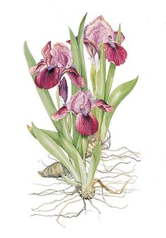 Iris Cherry Garden  Artist's signed & numbered print in a limited edition of 250 copies