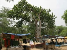 Giant Ficus Tree in Sanjay Van