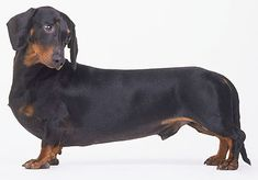 Sausage dogs are the most aggressive dogs - Telegraph