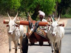 A bullock cart trundles down a country lane.