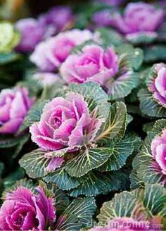 Ornamental cabbage.