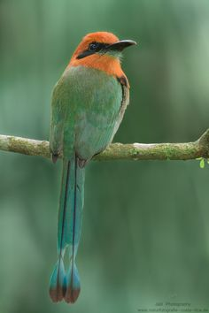 Rufous Motmot (Baryphthengus martii) is a near passerine bird which is a resident breeder in rainforests from northeastern Honduras to southwestern Brazil.