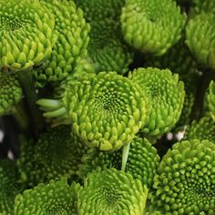 """Kermit Green Button Pom Flower~A """"Pom"""" is a Chrysanthemum, member of the Daisy [Asteraceae] family. The word 'pom' comes from the original French word 'pompon'. It has many meanings, one of which is in reference to the type of Chrysanthemum with immediately recognizable, small, spherelike flowers."""