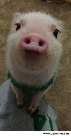 Pigs can be cute ...........click here to find out more http://googydog.com