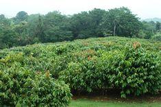 Cocoa field in Martinique.
