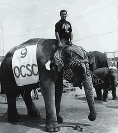The elephant races of 1962 evolved from a student's prankish idea into the largest campus event at the time.  I attended this event while a student (1962-1965) at Orange County State College, now CSUF. Classes were held in portable units until 1964, when a high rise was built. The name of the school changed 3 times before I graduated in 1965:  Orange County State College, Orange State College, to California State College at Fullerton. In 1972 it became California State University, Fullerton.