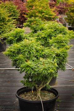 Shop Japanese Maple Trees, available online in all colors and sizes. We carry the most popular Japanese Maple varieties, and only stock top quality trees. Japanese Maple Varieties, Dwarf Japanese Maple, Gardenias, Unique Plants, Exotic Plants, Japanese Garden Design, Japanese Gardens, Acer Palmatum, Miniature Trees
